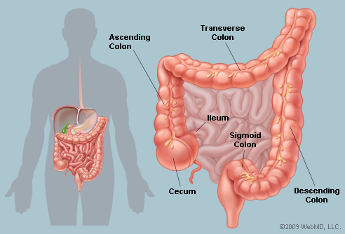 Ayurveda The Human Body The Large Intestine What Does It Do What Are It S Main Symptoms Of Disease California College Of Ayurveda