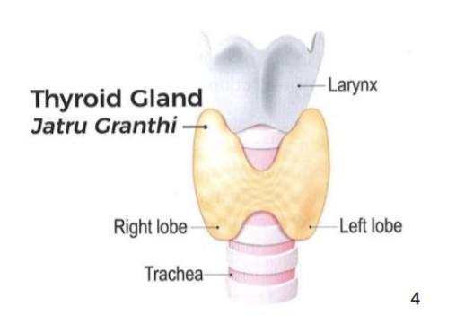 Thyroid Gland | Jatru Granthi